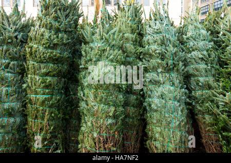 Fraser abetos envuelto y listo para las ventas de Navidad en el este de los EE.UU.