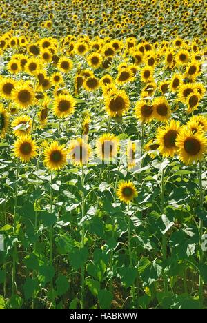 Sun Flower field Foto de stock