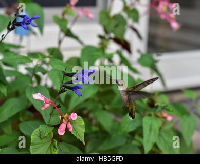 Hummingbird (Archilochus colubris) flotando a inspeccionar una flor de un arbusto de mariposas (Asclepias syriaca) antes de reunir su néctar.