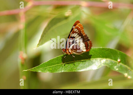 El Almirante, Limenitis Lorquin lorquini, Southern California