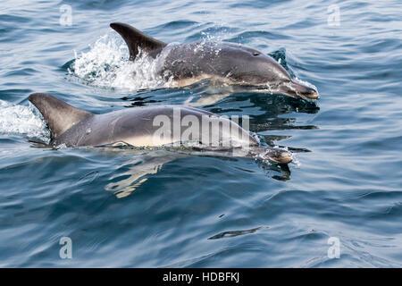 Los delfines comunes en Cornwall, buceo y saltando fuera del mar