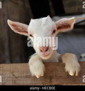 Bebé cabra cachemir