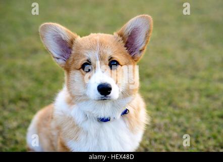 Welsh Corgi Pembroke perro sentado