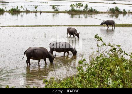 Búfalos pastando en arrozales anegados.