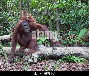 Bornean silvestres orangután (Pongo pygmaeus) Madre sentada sobre un registro en el bosque con el bebé de dos años aferrada a su espalda
