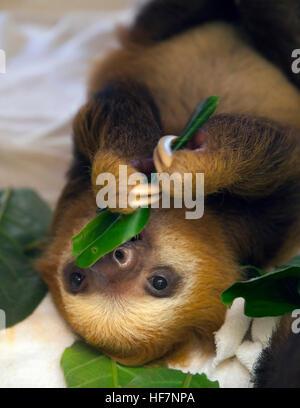 Bebé huérfano de dos Hoffmann (Choloepus hoffmanni vetado perezosos) alimentándose de hojas en la pereza santuario