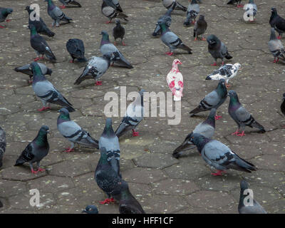 Cómo destacar en una muchedumbre ... ser diferente. Un albino Rock Pigeon es aceptada por el rebaño.