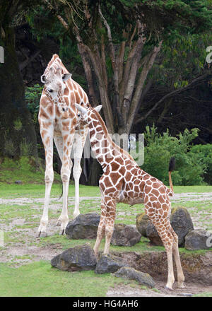 La madre jirafa enfrentando con él,r la pasto verde de las rocas y de los árboles, en el fondo, retrato de vista vertical