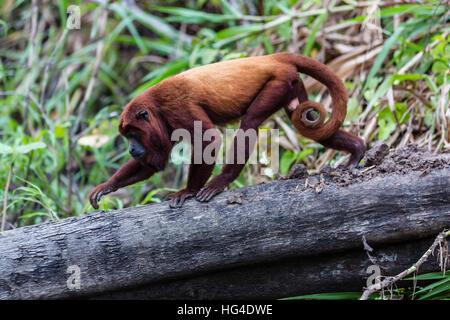 Adulto mono aullador (Alouatta seniculus), San Miguel Cao, Loreto, Perú, América del Sur