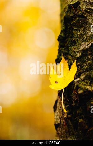 El sicomoro arce (Acer pseudoplatanus) es un árbol caducifolio del género de los arces (Acer) . Es ampliamente utilizado en Europa y tanto como un árbol de estacionamiento