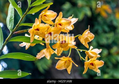 Cerrar un tallo de orquídeas dendrobium amarillas flores y hojas verdes cubiertos de gotas de lluvia