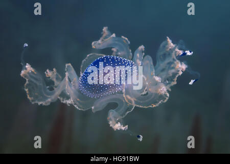 Las medusas manchada de Australia en su hábitat natural