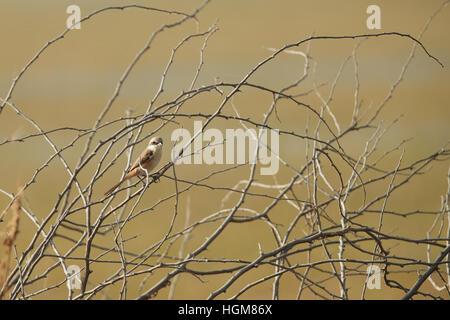 """Respaldados por la bahía de actuación en """"The Shrike"""" Bird (Lanius vittatus) donde se posan en una rama, fondo gris Foto de stock"""