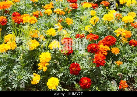 Marigold (Tagetes patula), lleno de flores en el jardín, Campos Do Jordao, en el estado de Sao Paulo, Brasil.