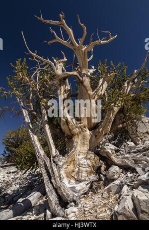 Great Basin bristlecone o pino Bristlecone Pine, Pinus longaeva, en las Montañas Blancas, California. Los árboles más antiguos que se conocen en el mundo.