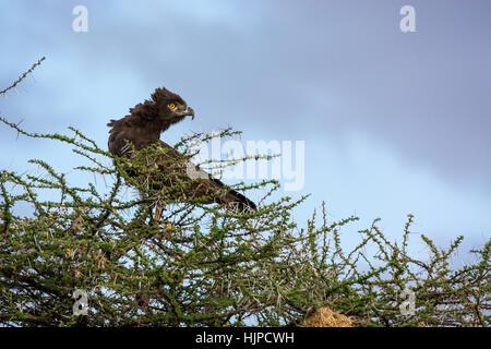 Perfil de un águila Marcial salvajes, Polymaetus bellicosus, bajo un cielo tormentoso, Buffalo Springs Reserva de Foto de stock