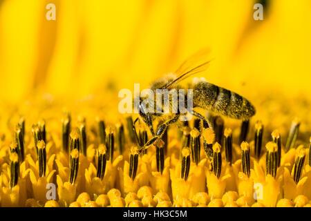 Un carniolan de abejas (Apis mellifera Carnica) está recogiendo néctar en un común de girasol (Helianthus annuus) flor