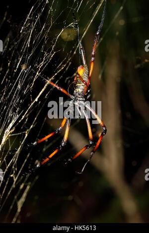 Seda dorada orb-Weaver, araña gigante nephila en web. Nosy Mangabe, provincia de Toamasina, Madagascar, vida salvaje y desierto
