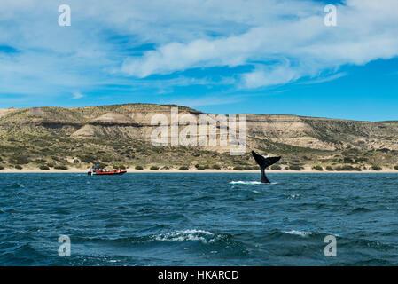 Ballena Franca Austral voltear su cuento en la Península Valdés en Argentina; concepto para viajes en Argentina y ballenas