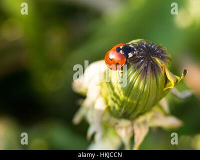 Mariquita roja o Ladybug en la parte superior de un diente de león cerrado Foto de stock