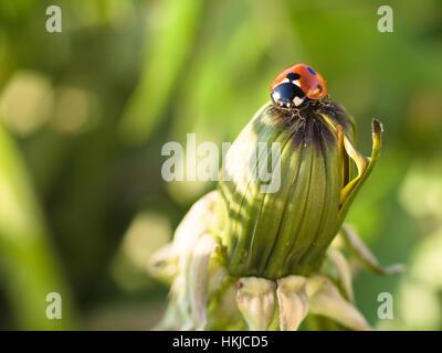 Mariquita roja o Ladybug en la parte superior de un diente de león cerrado II Foto de stock