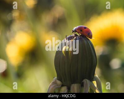 Mariquita roja o ladybug cerradas en la parte superior de un diente de león III Foto de stock