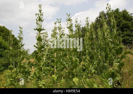 Schlitzblatt-Karde, Schlitzblättrige Karde, Dipsacus laciniatus, Corte dejados Teasel, cutleaf teasel