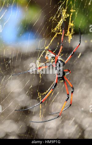 Seda dorada orb-Weaver, arañas gigantes en la web. Isla de Nosy Mangabe, provincia de Toamasina, Madagascar, vida salvaje y desierto