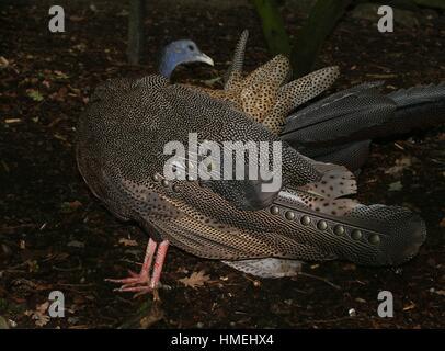 Gran macho faisán Argus (Argusianus argus), nativa de las selvas de Borneo, Sumatra y la Península de Malaca, en Foto de stock