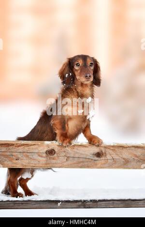 Lindo perrito Teckel en invierno día feliz