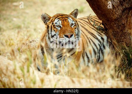 Tigre de Bengala en la hierba de día de verano