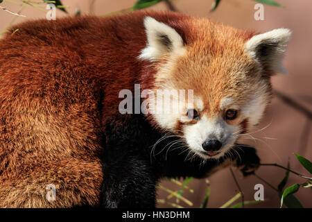 Los pandas rojos puede contarse para lindo. Este es desde el zoológico de la ciudad de Oklahoma.