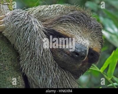 Primer plano de un lindo y oso perezoso colgando de un árbol en Costa Rica