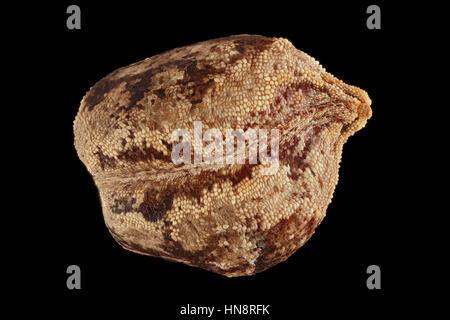 Impatiens glandulifera, bálsamo del Himalaya, Drüsiges Springkraut, semillas, cerca de 4-5 mm de tamaño de semilla