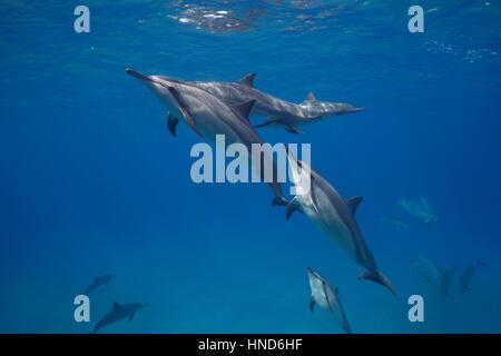 Hawaiian delfines giradores de Grey o delfines, Stenella longirostris, socialización; un delfín pico de tijera con deformidad, Hookena, Hawaii, EE.UU.