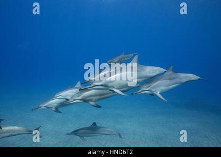 Hawaiian delfines giradores de Grey o delfines, Stenella longirostris longirostris, Hookena, sur de Kona, Hawaii ( la Isla Grande ), EE.UU. (Pacífico)