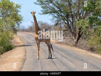 Jirafa en el Parque Nacional Kruger de Sudáfrica caminando a través de una carretera