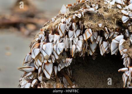 Percebes (orden Pedunculata), también llamado acechado o percebes, cuello de cisne en un podrido Driftwood en el Ocean Beach, Galveston, Texas, EE.UU.