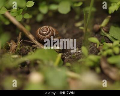 Caracol marrón profundamente en el pasto comiendo las hojas verdes, todo verde jardín, Rusia Foto de stock