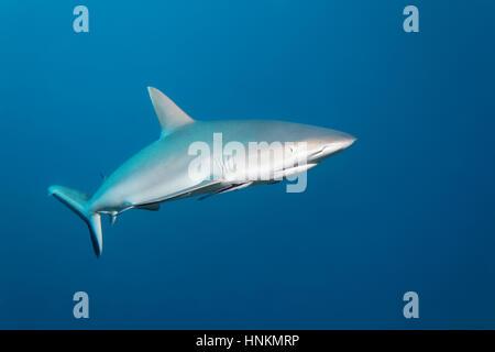 Tiburón gris de arrecife (Carcharhinus amblyrhynchos), el Océano Índico, Maldivas