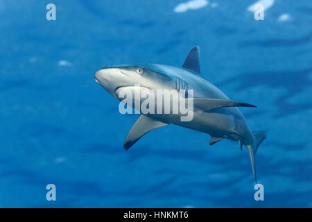 Tiburón gris de arrecife (Carcharhinus amblyrhynchos), entrecortada de superficie de agua, el Océano Índico, Maldivas