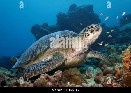 La tortuga verde (Chelonia mydas) sentado en arrecifes de coral, el Océano Índico, Maldivas