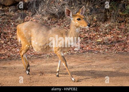 El bushbuck (Tragelaphus scriptus), el Parque Nacional Kruger, República de Sudáfrica.