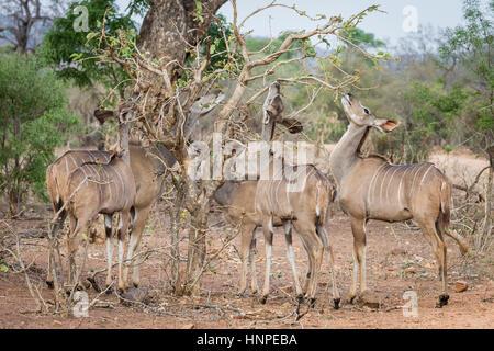 Kudu mayor (Tragelaphus strepsiceros), el Parque Nacional Kruger, República de Sudáfrica.