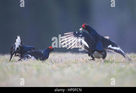Dos machos de urogallo negro ( Lyrurus tetrix) luchan entre sí en una mañana temprana lek