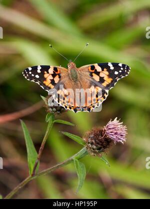 Painted Lady nectaring en mala hierba. Hurst Park, West Molesey, Surrey, Reino Unido.