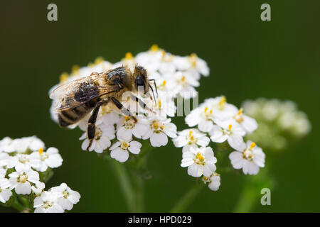 Honig-Biene Honigbiene,,, Biene Bienen, Apis mellifera, Apis mellifica, Blütenbesuch auf Schafgarbe, Nektarsuche, Blütenbestäubung, miel de abeja, colmena ser