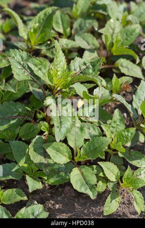 Indisches Springkraut, Drüsiges Springkraut, Blatt, Blätter, Jungpflanze, Impatiens glandulifera, Bálsamo del Himalaya, el casco del policía