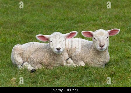 Dos corderos blancos de ovejas domésticas acostado de lado a lado en la pradera