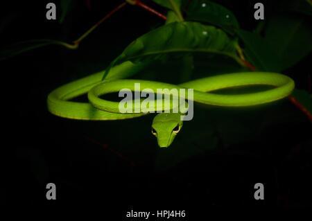 Un verde brillante serpiente látigo Orientales (Ahaetulla prasina) en la selva por la noche en el Parque Nacional Santubong, Sarawak, Borneo, Malasia Oriental